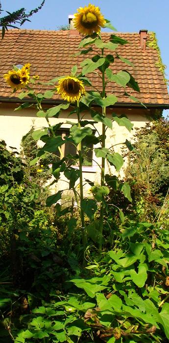 die drei Sonnenblumen