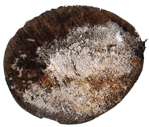 Holzpilz